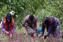 برداشت گل گاوزبان از سطح ۱۷ هکتار از مزارع منطقه الموت آغاز شد