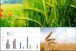 خسارت کمبارشی به کشاورزان/ ۷۰ درصد مزارع گندم قابل برداشت نیست
