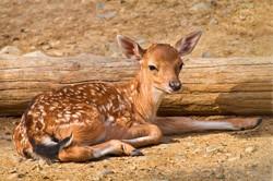 VIDEO: Persian fallow deer spotted in Mian Katal