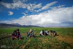 مزارع کشاورزی روستاهای تویسرکان