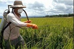 پایش و کنترل بیماریهای نباتی در استانهای سیلزده/ احتمال خسارت در صورت تعلل در سمپاشی