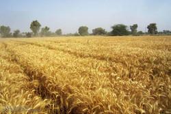 خرید گندم از کشاورزان استان بوشهر ۴۲ درصد کاهش یافت