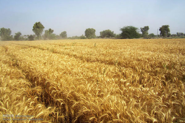 ۱۶۵ هزار تن گندم از کشاورزان استان قزوین خریداری شد