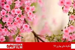 شکوفه های بهاری ۹۷