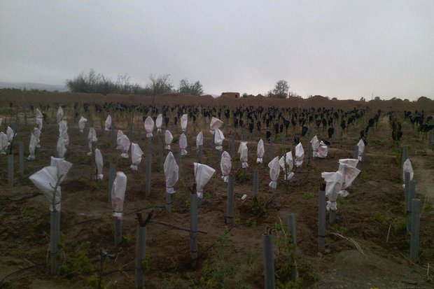 کشاورزان استان سمنان برای مقابله با سرمازدگی باغات اقدام کنند