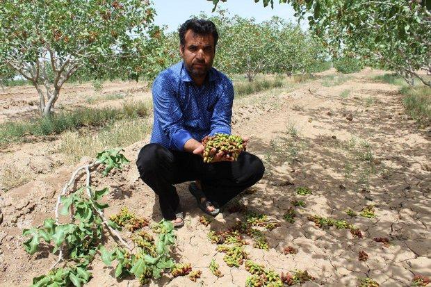 خسارت سنگین بارش تگرگ به مزارع پسته گناباد