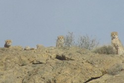 Three Asiatic cheetahs spotted in Semnan