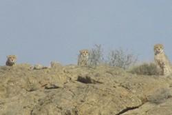 ۳ قلاده یوزپلنگ در پارک ملی توران شاهرود تصویربرداری شد