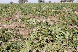 بارندگی ها دو میلیارد تومان به بخش کشاورزی خراسان جنوبی خسارت زد