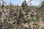 سرما یک هزار میلیارد ریال به بخش کشاورزی آذربایجان غربی خسارت زد