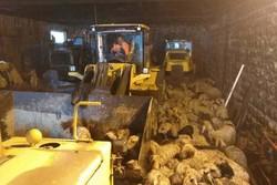نجات دام های عشایر بختیاری در گردنه «چری» کوهرنگ