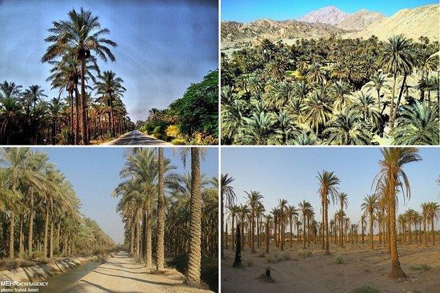 کمبود ۱۱۰ میلیون مترمکعب آب برای آبیاری نخیلات در استان بوشهر