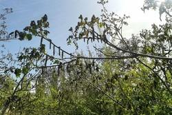 سرمازدگی به برداشت گردو و بادام باغات سپیدان خسارت وارد کرد