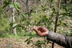 سرمای بهار امسال ۸۱ هزار میلیارد ریال به باغات کشور خسارت زد