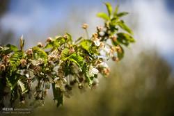۳ میلیون تن محصولات باغی رفسنجان دچار خسارت شد