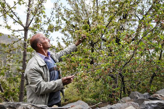 دستمزد کارگران میوهچین ۴۰ تا ۵۳ درصد افزایش یافت