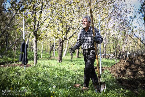 ۷هزار تن کودکشاورزی بین بهره برداران بخش کشاورزی تاکستان توزیع شد