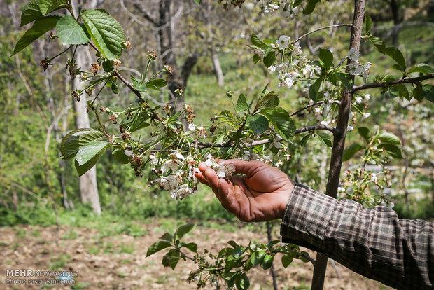 سرمازدگی محصولات کشاورزی در همدان