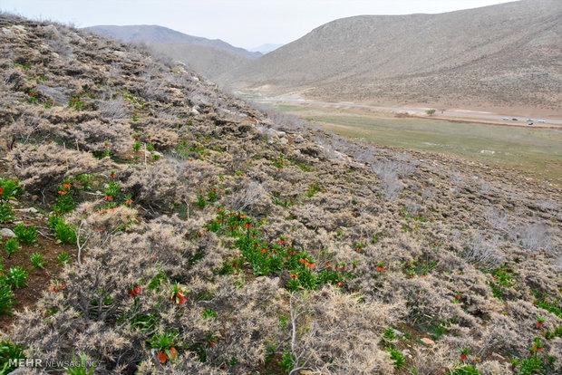 Plain of leftover tulips in Dehaqan
