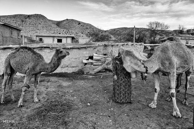 آراز بیکه حاجی لی دوه جی 47 ساله، قبل از دوشیدن شیر شتر با سطلی در دست پشت آن ایستاده است. او چهار فرزند دارد و درآمد خانواده آنها از دامداری میباشد و در روستای فرق سرزندگی میکند.