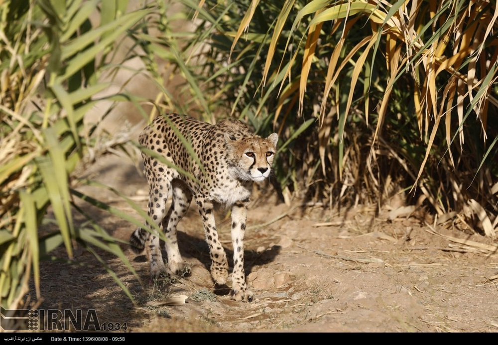 More than 5,500 livestock moved out of Asiatic cheetah's