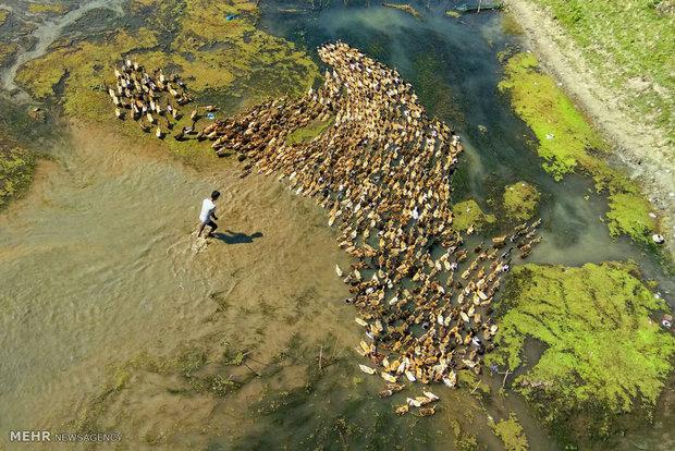 رژه اردک ها