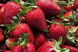 برداشت توت فرنگی نوبرانه از ۱۲۰ هکتار زمین کشاورزی آغاز شد