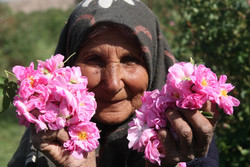 Rosewater festivals draw visitors to central Iran