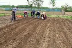 آغاز کشت قلمه های نیشکر در استان گیلان/ تولید ۶۰ تن شکر سیاه