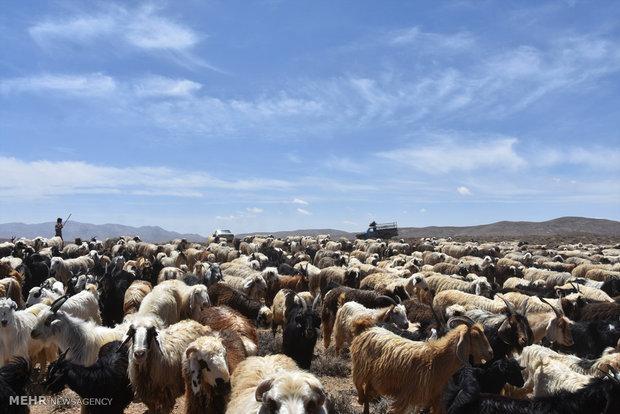 تاخیر ۱۰ روزه در کوچ قشلاقی عشایر استان تهران