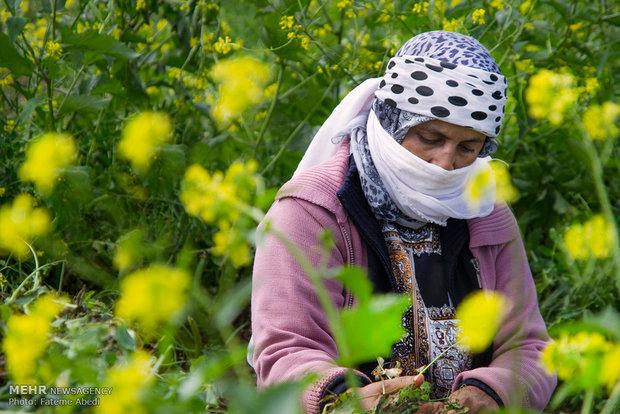 رابعه در ماههای اولیه سال به زمینهای کشاورزی میرود تا نانی برای فرزندانش به خانه ببرد.