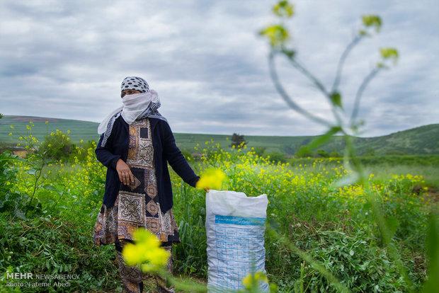رابعه برای کارگری به زمینهای کشاورزی میرود و بابت هر عدد کیسه نخودفرنگی که جمع آوری میکند،تنها شش هزار تومان دریافت میکند.
