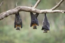 بشر بی رحم علیه طبیعت بی دفاع/ انسان به حریم خفاش ها تجاوز کرد