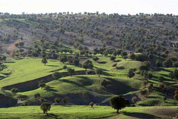 بلوط کردستان