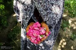 اشتغال ۲۰۰ نفر در مزارع «گل محمدی» فیروزکوه