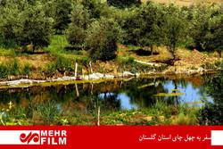 رحلة في مزارع الشاي بمحافظة كلستان الإيرانية