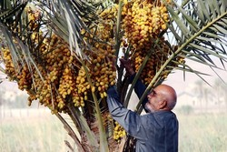 Iran exports 253k tons of dates to 86 countries