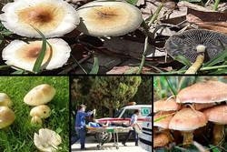 جهاد کشاورزی زنجان نسبت به خطر مصرف قارچهای سمی هشدار داد