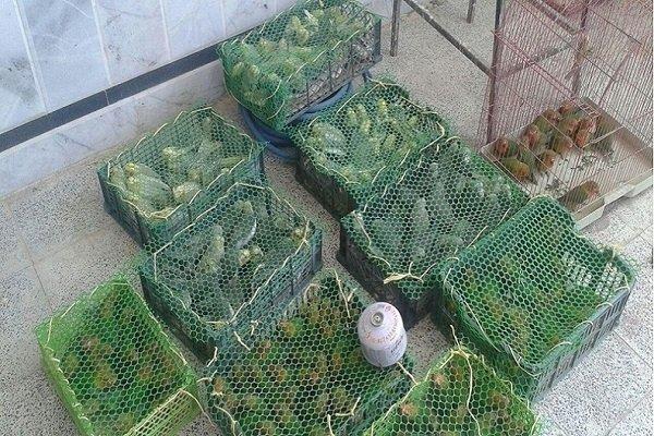 هشدار دامپزشکی بوئین زهرا در خصوص خرید پرندگان بومی و محلی
