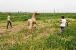 پرورش اسب در روستای صوفیان - گلستان