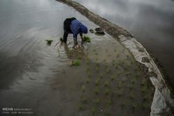 Fotoğraf: Pirinç böyle ekilir