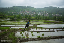 نشاء برنج در شهرستان سواد کوه