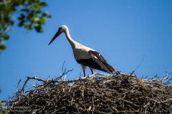 White storks return to their habitats in Iran
