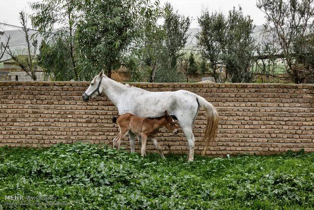 İran'ın at yetiştiricisi Türkmensahra