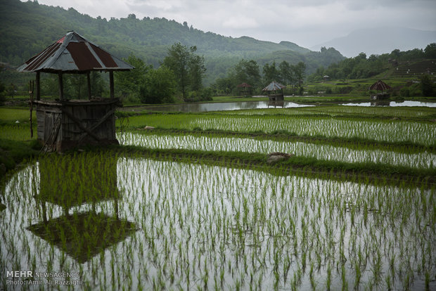 Rice cultivation in Mazandaran Province