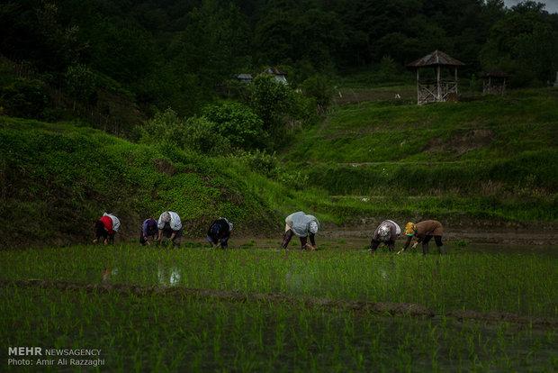 Pirinç böyle ekilir