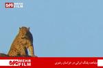 فلم/خراسان رضوی میں ایرانی چیتے کا مشاہدہ