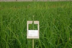 آغاز اجرای طرح مبارزه بیولوژیک با کرم ساقه خوار برنج در صومعه سرا