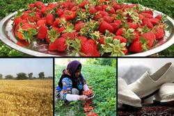«کلاش» مریوان شهره عام و خاص در جهان/ رتبهداری در توتفرنگی و گندم