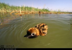 A chick is floating on water in Shadegan wetland, southwestern province of Khuzestan. Wetlands dryness in southern and southwestern, caused by ignoring the water right of the wetlands coupled with dro